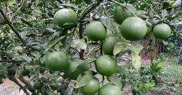 চুয়াডাঙ্গায় বাণিজ্যিকভাবে বারী জাতের মাল্টা চাষ