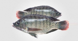 তেলাপিয়া মাছ বাড়ায় ক্যান্সারের ঝুঁকি: মার্কিন গবেষণা