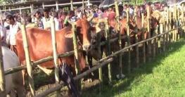 ঝিনাইদহের হাটে কোরবানির পশুর ভালো দাম, খুশি কয়েক জেলার খামারি