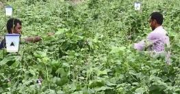 কুষ্টিয়া-যশোর অঞ্চলে চাষ হচ্ছে ২৭ ধরনের গ্রীষ্মকালীন ফসল