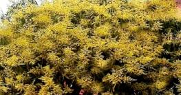 চুয়াডাঙ্গায় আমের মুকুলে স্বপ্ন দেখছে চাষিরা